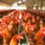 Aplicación De La Normativa Específica Relacionada Con La Optimización De Recursos En La Explotación Avícola